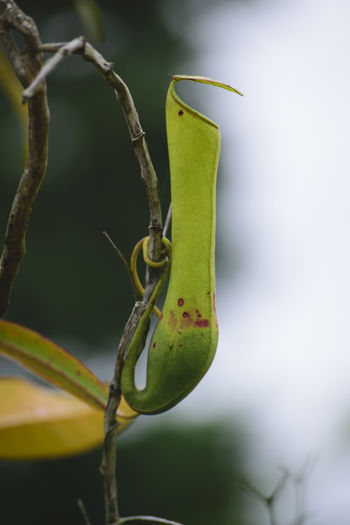 Pitcherplant Pitcher Plant Pitcher Plants Kantong Semar Nephentes Nature Naturelovers Insect Animal Wildlife Close-up Animals In The Wild Nature Plant Green Color One Animal Beauty In Nature Animal Themes No People Growth Leaf Outdoors Day Themes Naturetheme Nature Photography
