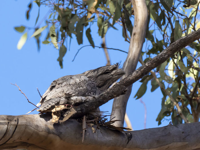 Tawny Frogmouth (Podargus strigoides) Tree Low Angle View Branch Plant No People Day Nature Sky Focus On Foreground Outdoors Clear Sky Plant Part Tree Trunk Trunk Leaf Sunlight Growth Beauty In Nature Close-up Tranquility Dead Plant Bark