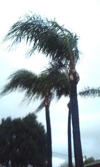 Windy Day Chilly Beautiful Palm Trees Taking Photos Fresh Air love those rainy days so much.