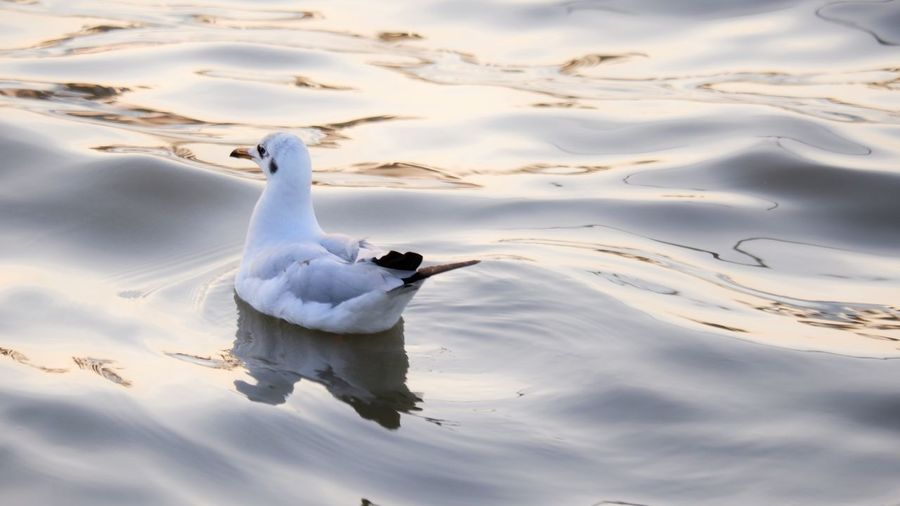 White duck swimming in lake