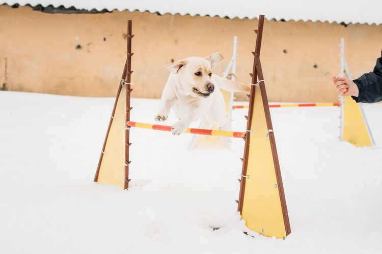 Labrador dog playing outside in snow, winter season. Sunny day. Agility dog training. Pets Dog Animal Snow Winter Sport Cold Temperature Labrador Playing Breed Purebred White Sunny Agility Training