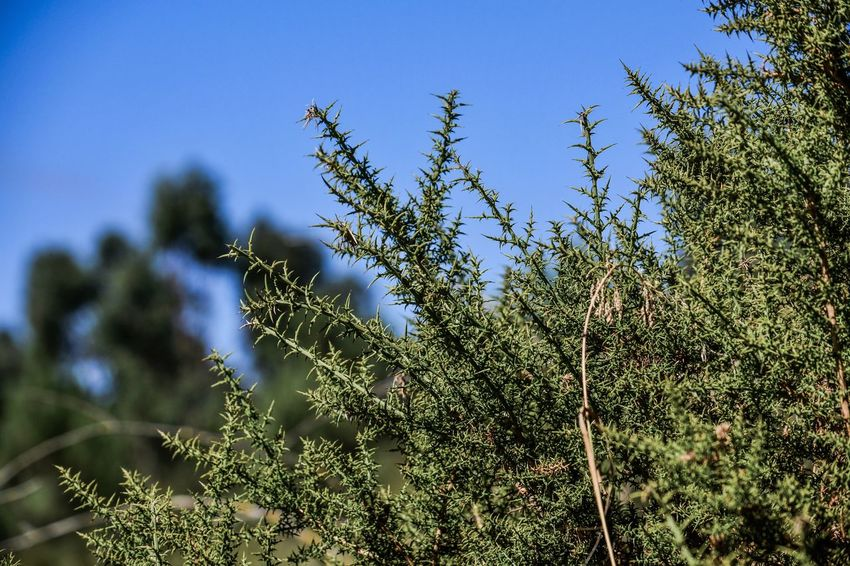 Beauty In Nature Blue Clear Sky Close-up Coniferous Tree Day Focus On Foreground Freshness Green Color Growth Land Leaf Low Angle View Nature No People Outdoors Pine Tree Plant Sky Sunlight Tranquility Tree