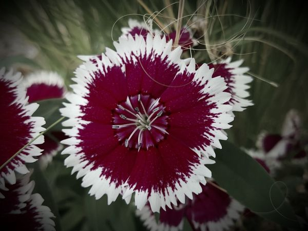 Sweet William flower. Fountain, Colorado Slight Filter Blooming Blossom Flowers, Nature And Beauty Colorful