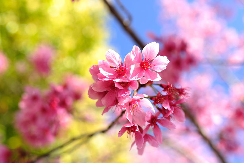 Taiwan Beauty In Nature Blossom Branch Bunch Of Flowers Cherry Blossom Cherry Tree Close-up Day Flower Flower Head Flowering Plant Focus On Foreground Fragility Freshness Growth Inflorescence Nature No People Outdoors Petal Pink Color Plant Springtime Tree Vulnerability  台灣 吉野櫻 櫻花 清境