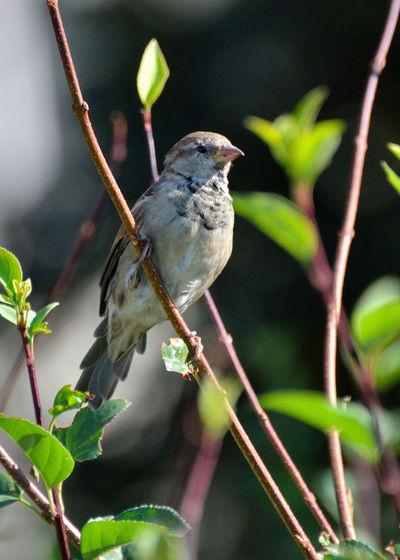 Sparrow Animal