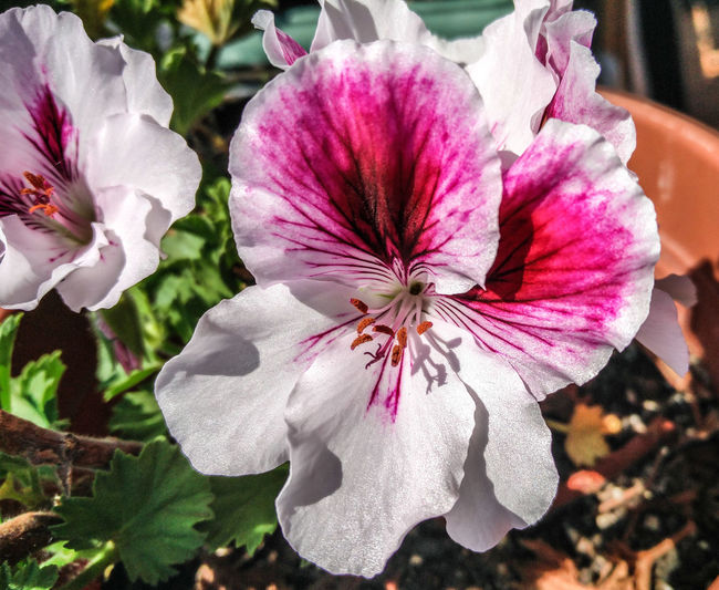 Geranium Flower Collection Withe Flower Segrate Spring 2016