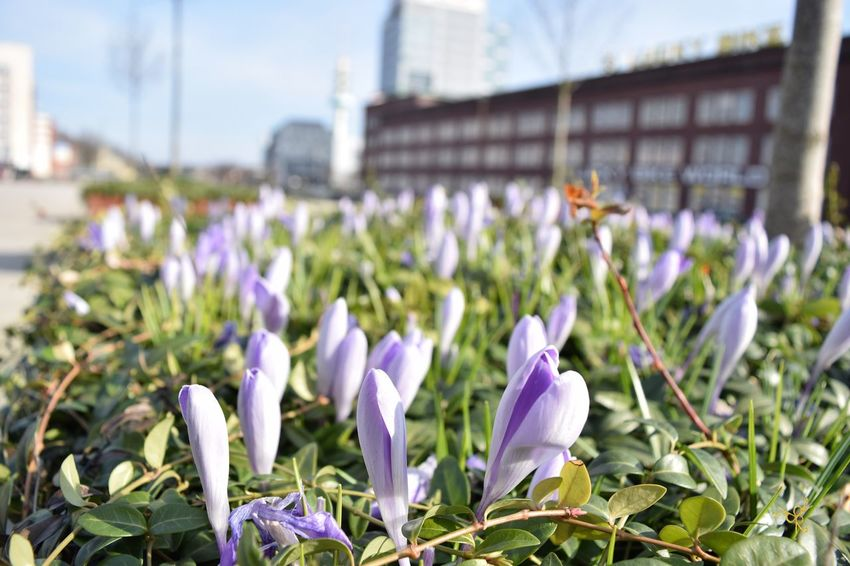 Architecture Bahnhof Beauty In Nature Blooming Blue Blumen Building Exterior Built Structure Close-up Day Duisburg Duisburg Hbf Duisburg Muss Man Wollen Duisburg | Germany Flower Flowers Focus On Foreground Fragility Freshness Growth Lila Blüten Lilac Flower Nature Plant Purple