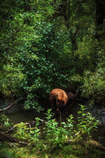 Bear With Cubs On Stream Against Trees At Forest
