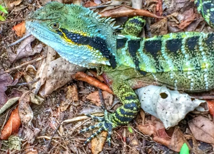 Lizard Nature_collection EyeEm @IPSWebsite Gold Coast Australia IPhoneography Burleigh Heads Leaves Leaf Forest Path