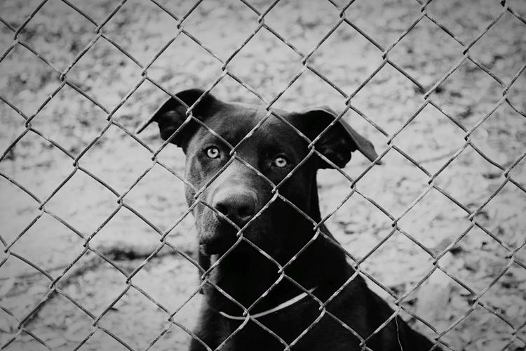 Brown Lab Fence