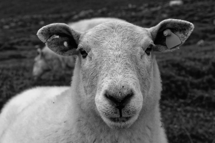 Animal Themes Mammal Animal Domestic Animals One Animal Vertebrate Domestic Blackandwhite Beauty In Nature EyeEm Nature Lover EyeEm Gallery Portrait Sheep Focus On Foreground Looking At Camera Close-up Herbivorous Animal Head  No People Farm Life