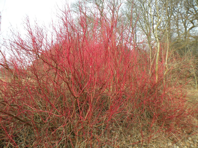 Cornus Sanguinea Cornaceae Blood Twig Dogwood European Dogwood Common Dogwood Tree Growth Nature Red No People Full Frame Sky Day Outdoors Backgrounds Beauty In Nature Close-up Deciduous Deciduous Shrub Shrub Twigs And Branches - in The Danish Countryside