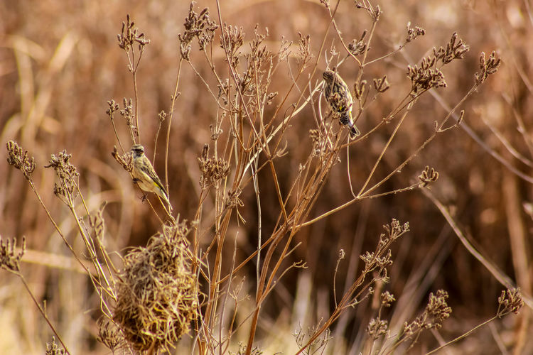 Close-up of dry plants on field