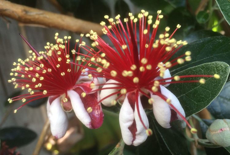 Woke up to this Flowering in my Garden this Morning . It's a Feijoa or Pineapple Guava you can eat the Flowers too. It is very closely related to our Pohutukawa the New Zealand Christmas tree, which flowers November to December. Petal Freshness Blooming Pollen Springtime New Zealand Impressions The Purist (no Edit, No Filter) South American Fruit