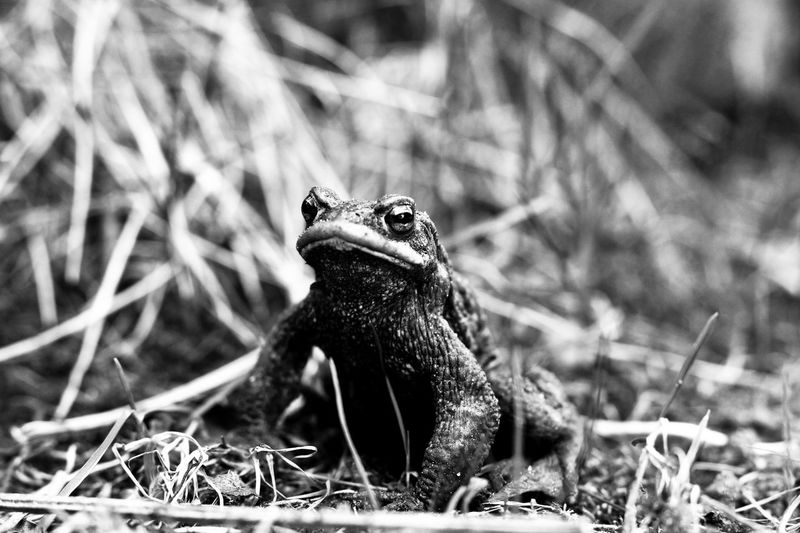 Animals In The Wild Frog Toad Amphibian Animal Animal Themes Animal Wildlife Animals In The Wild Close-up Day Field Focus On Foreground Grass Land Looking Looking Away Nature No People One Animal Outdoors Plant Selective Focus Sitting Skin Toad Migration Toads And Frogs Vertebrate Wizened Wrinkled Wrinkled Skin