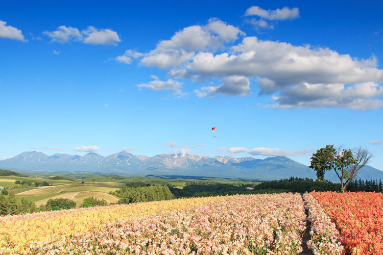 Scenic view of flower garden with paraglider in background against blue sky