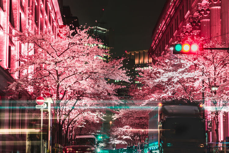 Pink Cherry Blossoms In City At Night