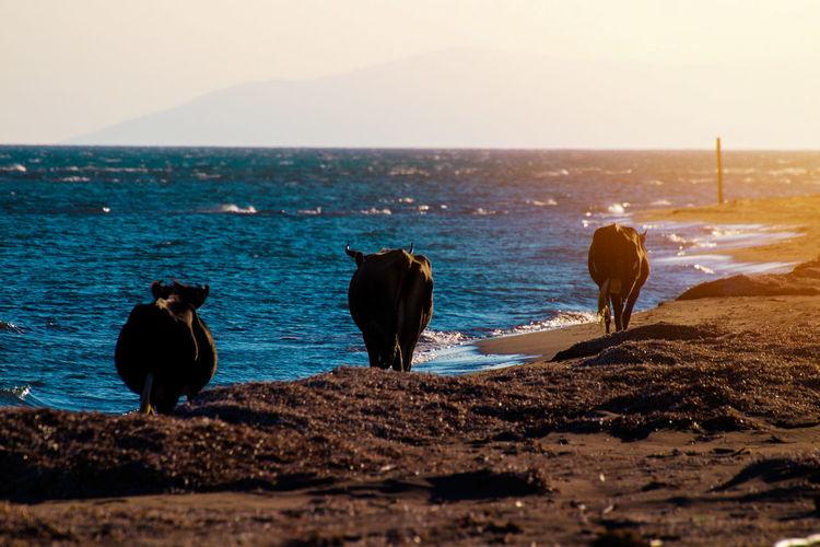 cows walking at
