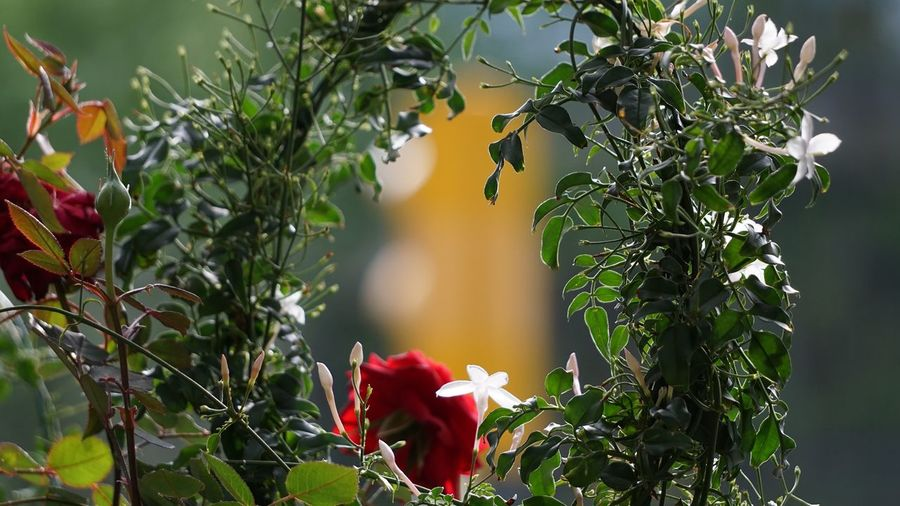 Flowers Plant Growth Leaf Plant Part Beauty In Nature Focus On Foreground Flowering Plant Flower Nature No People Red Freshness Close-up Green Color Petal Fragility Vulnerability  Day