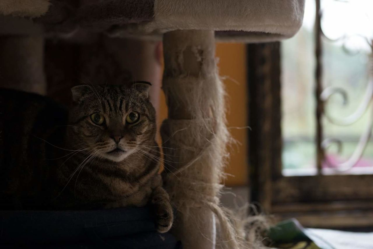 domestic cat, domestic animals, pets, feline, animal themes, indoors, one animal, mammal, looking at camera, whisker, portrait, focus on foreground, no people, sitting, day, close-up