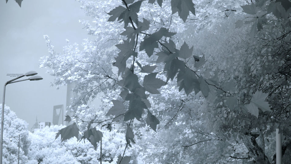 IR Infrared Day Information Infrared Camera Infrared Filter Infrared Color Infrarot B&w Infrared Photo 760nm Infrared Photography No People Tree Weather
