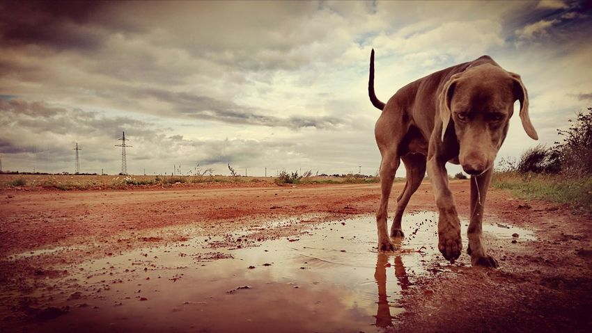 Weimaraner Weimaraners Weimaraners Of Eyeem Weimaranerlove Weimaranerlife Lonewolf Sky Cloud - Sky Outdoors Adult Rural Scene Nature