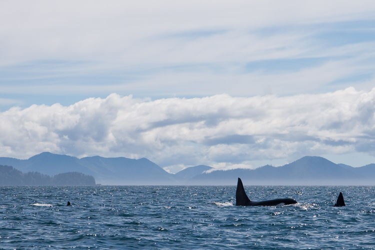 Killer whales swimming in sea against sky