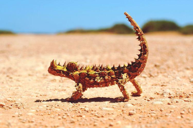 Animals In The Wild Animal Themes Nature Animal Wildlife One Animal Close-up Landscape Outdoors Australia Thorny Devil Thorny Dragon