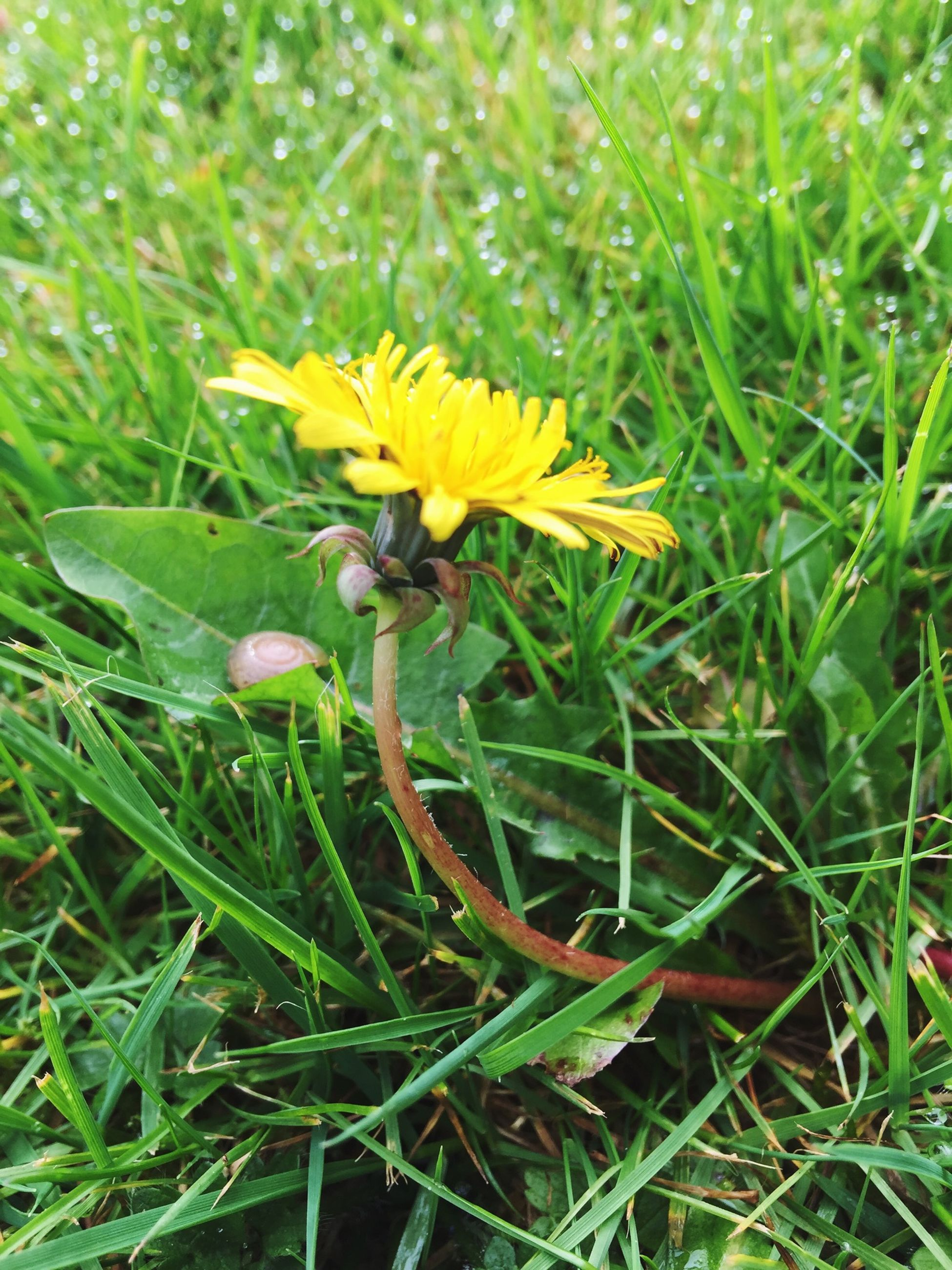flower, freshness, fragility, yellow, growth, petal, flower head, plant, beauty in nature, field, blooming, nature, green color, single flower, grass, close-up, focus on foreground, insect, in bloom, high angle view