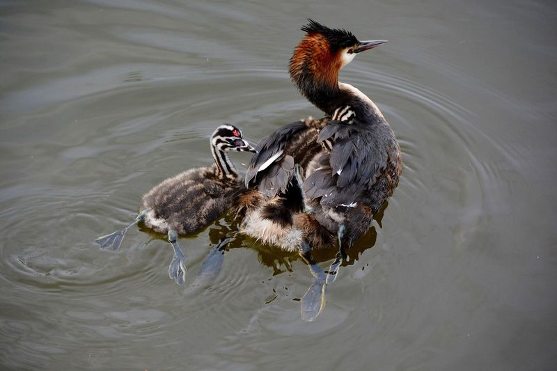 Great Crested Grebe With Her Chick