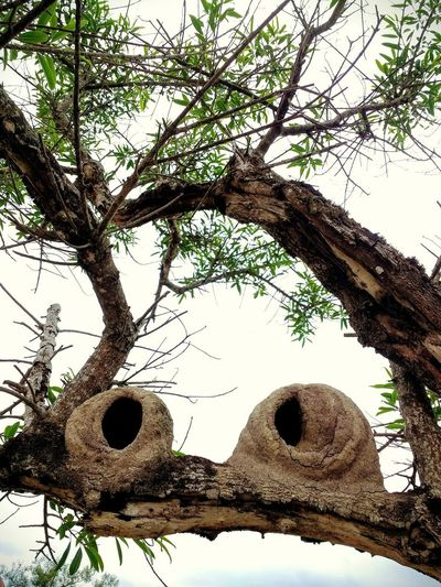 Nidos de Hornero. El pájaro arquitecto / Hornero's nests. The architect bird Tree Birds Nests Mud Nest Hornero Low Angle View Branch Trunk Day Tranquility Outdoors No People Architecture A New Beginning