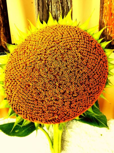 Sunflowers🌻 Sunflower 🌻 Ready To Go Sunflower Seeds Time To Pick Yellow Flower Pollenation