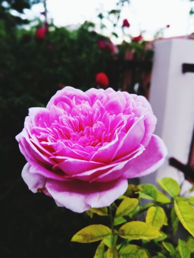 Flower Pink Color Peony  Plant Flower Head Petal Close-up Nature Outdoors Rose - Flower No People Beauty In Nature Fragility Day Fashion Show Freshness Rose🌹