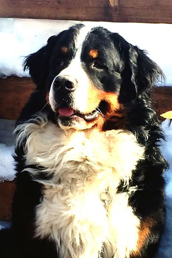 Ilovemydog Lovemydog I Love My Dog Bernese Mountain Dog Bernesemountaindog Dogs Baloo