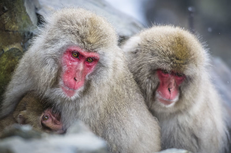 Japanese macaques family at Jigokudani monkey park Japan Japanese Macaques Jigokudani-Snow-Monkey-Park Animal Animal Family Animals In The Wild Group Of Animals Japanese Macaque Monkey Togetherness White Hair