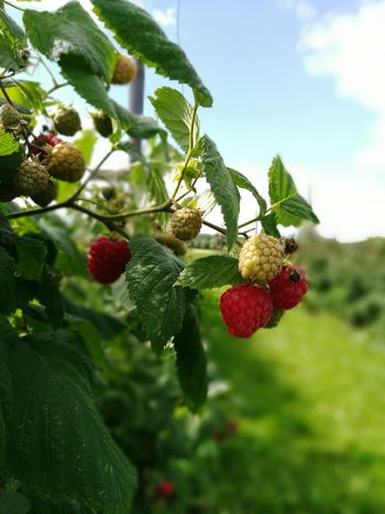 Fruit Fruits ♡ Fruits And Vegetables Huawei HuaweiP9 Mobile Photography Raspberry Raspberries Summer Eat Me