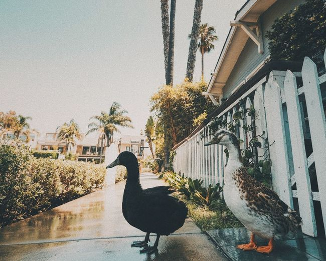 Venice beach canals duckys Venice Beach Venice Canals Los Angeles, California No People EyeEm Selects TheWeekOnEyeEM The Week On EyeEm Travel Photography Travel Destinations Ducks