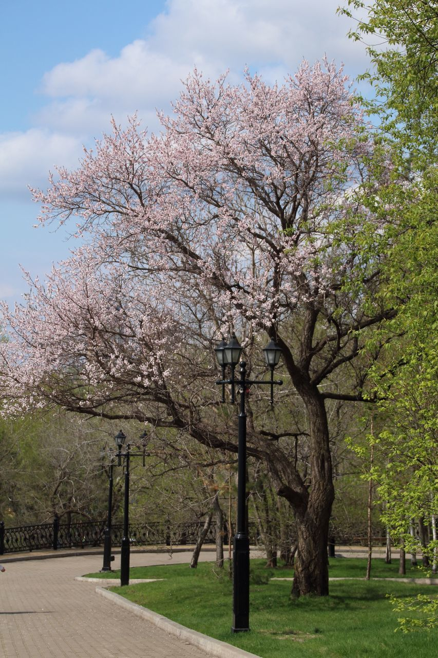tree, blossom, flower, cherry tree, springtime, beauty in nature, nature, branch, no people, day, growth, cloud - sky, outdoors, sky, freshness, fragility, tranquility, scenics, grass, travel destinations