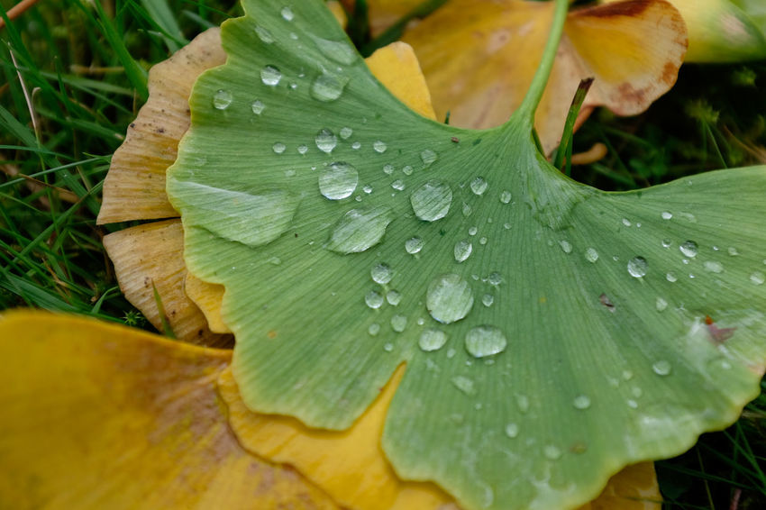 Ginko biloba leaf with raindrops Autumn RainDrop Beauty In Nature Close-up Day Drop Fragility Freshness Ginko Biloba Ginko Leaf Ginko Leaves Green Color Growth Leaf Nature No People Outdoors Plant RainDrop Water Wet