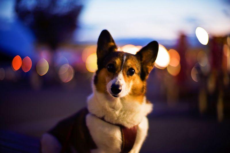 Close-up portrait of dog against illuminated sky at night