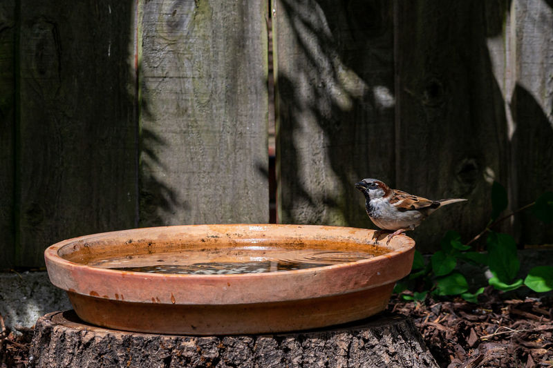 Male house sparrow, passer domesticus, perched by the side of a bird bath drinking water