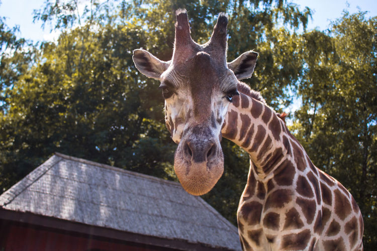 Low Angle Portrait Of Giraffe