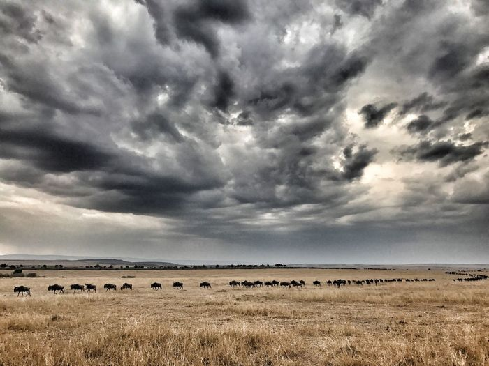 Mara Migration Animal Themes Large Group Of Animals Nature Dramatic Sky Storm Cloud Grazing Scenics Beauty In Nature The Week On EyeEm
