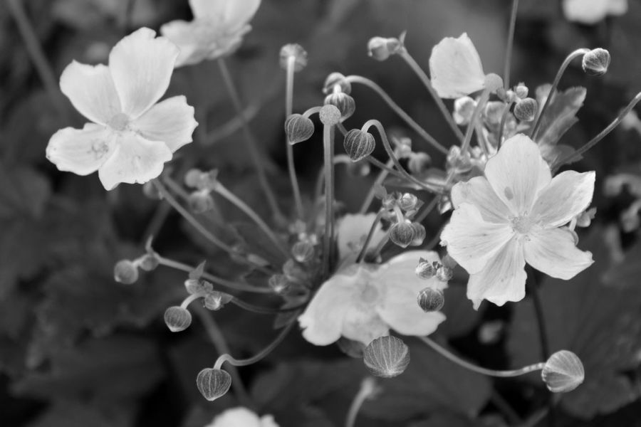 Beauty In Nature Blackandwhite Flower Focus Object Nature No People Plant Plum Blossom