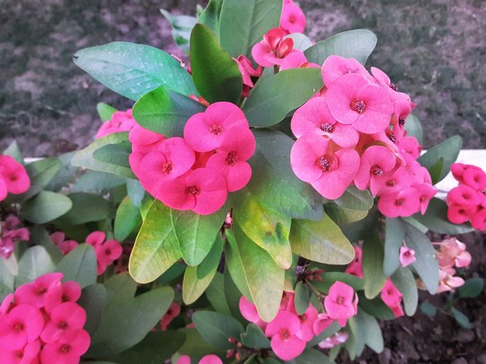 Pink Color Flower Plant Growth Beauty In Nature Nature Outdoors Petal Day No People Leaf Freshness Fragility Close-up Flower Head