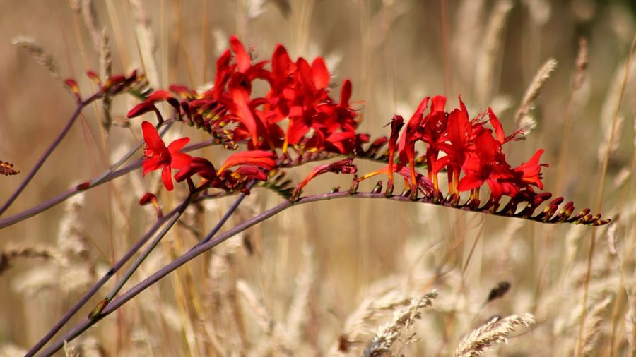 Plant Red