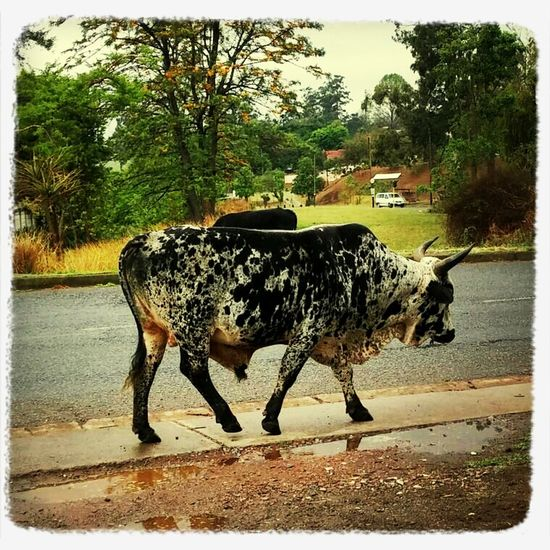 Nguni Nguni Cattle Urban Animals Cow just another nguni in the city!