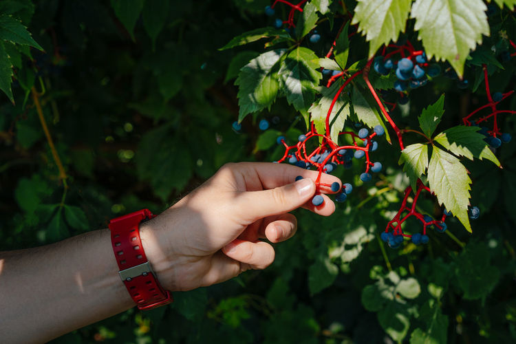 Man's hand holding poisonous blue ivy fruits