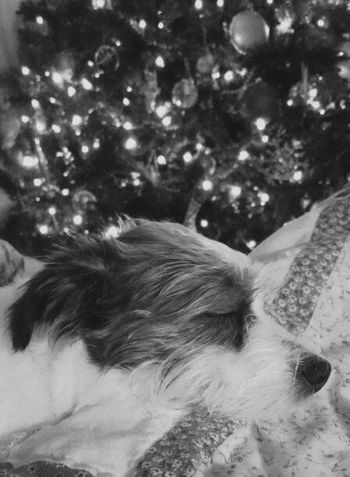 Pets Are Family My Pet Womansbestfriend  I Love My Dog Decemberphotochallenge Different Points Of View 12 Days Of Christmas Passionforphotography Photographerseye Alabama Mans Best Friend 12 Days Of EyeEm Pet Photography  Its The Small Things In Life Christmas Tree Christmas Lights Seasons Greetings Relaxing Canine Companion Black And White