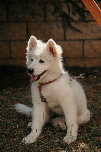 White samoyed puppy sitting in the yard. cute pets concept.